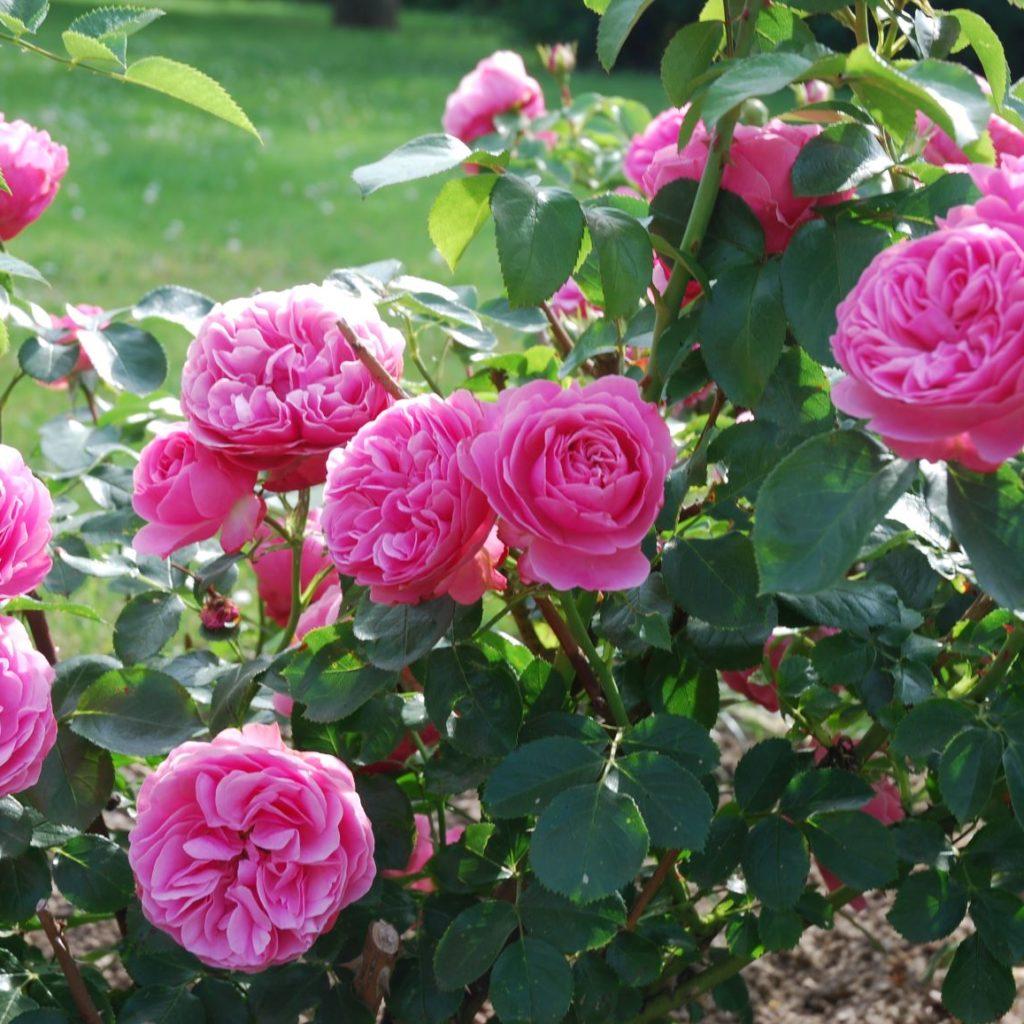 roses_sainthubert©Jusseret